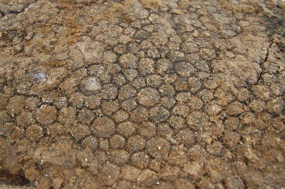 Formas geométricas encontradas na carapaça são conhecidas como rosetas. Crédito foto: Gilvan Peters