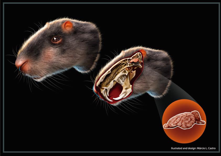 Foto horizontal com fundo preto, o desenho da cabeça do roedor, al lado um pouco abaixo o mesmo desenho mas com a parte cerebral aparente, e em outro detalhe o que seria o cérebro do animal