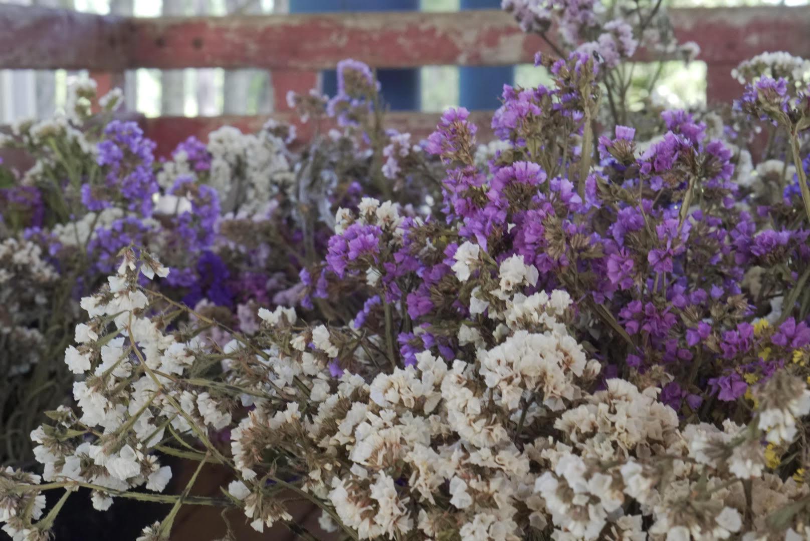 Foto colorida horizontal mostra ramos da flor statice em primeiro plano, nas cores branco e roxo