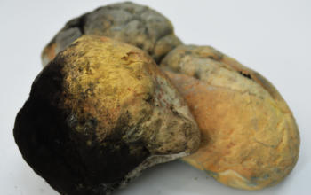 É correto retirar a parte com fungo e comer o resto? Quais os perigos de consumir mofo?