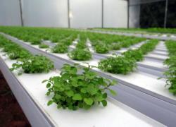 Hortaliças enfileiradas, plantadas em sistema de hidroponia