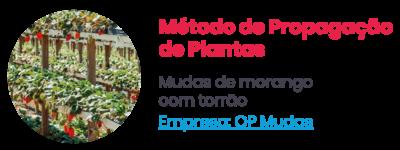 Método de Propagação de Plantas - Mudas de morango com torrão. Empresa: QP Mudas