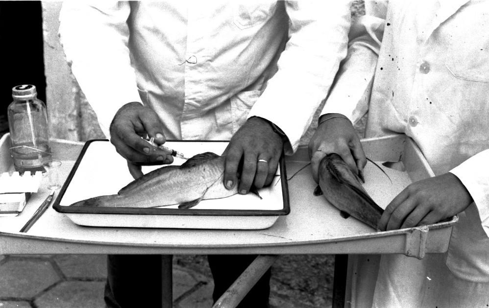 Fotografia horizontal em preto e branco de duas pessoas segurando, cada uma, um peixe sobre uma mesinha que está à frente deles. As pessoas, visíveis do tórax para baixo, vestem jalecos brancos, estão em frente a uma parede e no chão o piso é de lajotas hexagonais. À esquerda, o homem, de pele clara e aliança na mão esquerda, está injetando, com uma seringa, um líquido no peixe, que segura dentro de uma bandeja branca, retangular e esmaltada. À direita, a mulher, de pele clara e anel na mão direita, apenas segura o peixe sobre a mesa. Os peixes tem duas barbatanas longas e são da espécie jundiá. À esquerda do homem, sobre a mesa, um bisturi e um frasco de vidro contendo um terço de líquido claro.