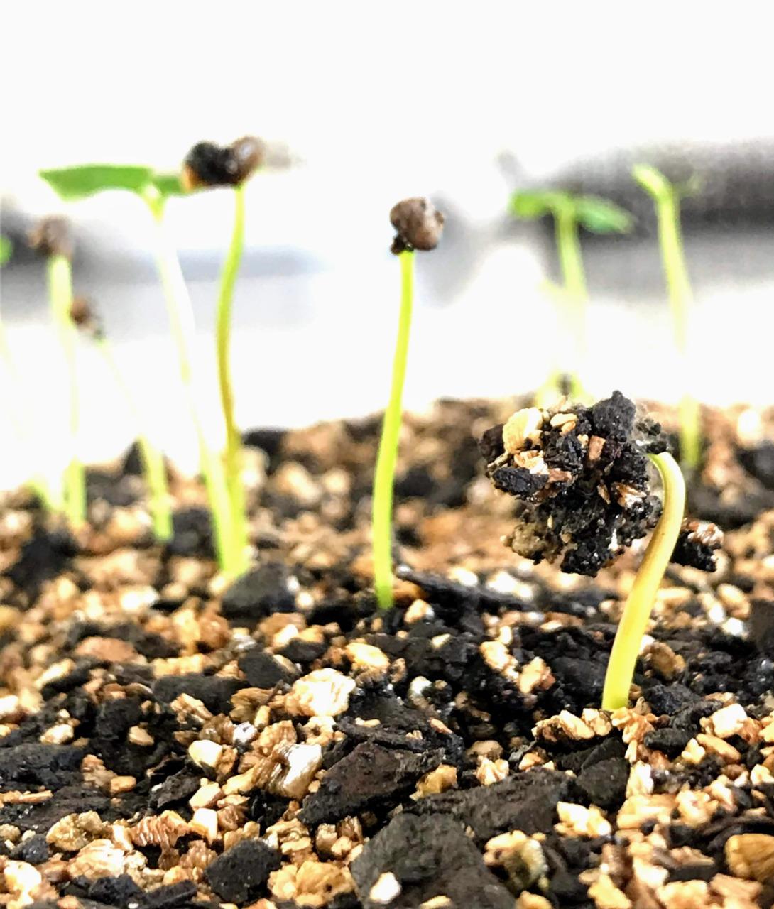 Sementes de araçá amarelo em fase inicial de germinação expondo as primeiras estruturas