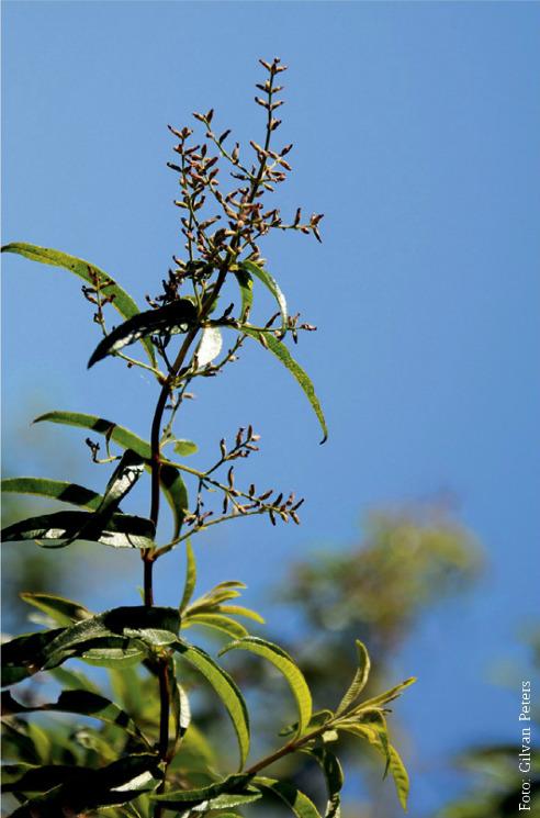 Flor de cidrão de árvore, planta medicinal cultivada na região norte do estado, comumente usada para problemas de estômago