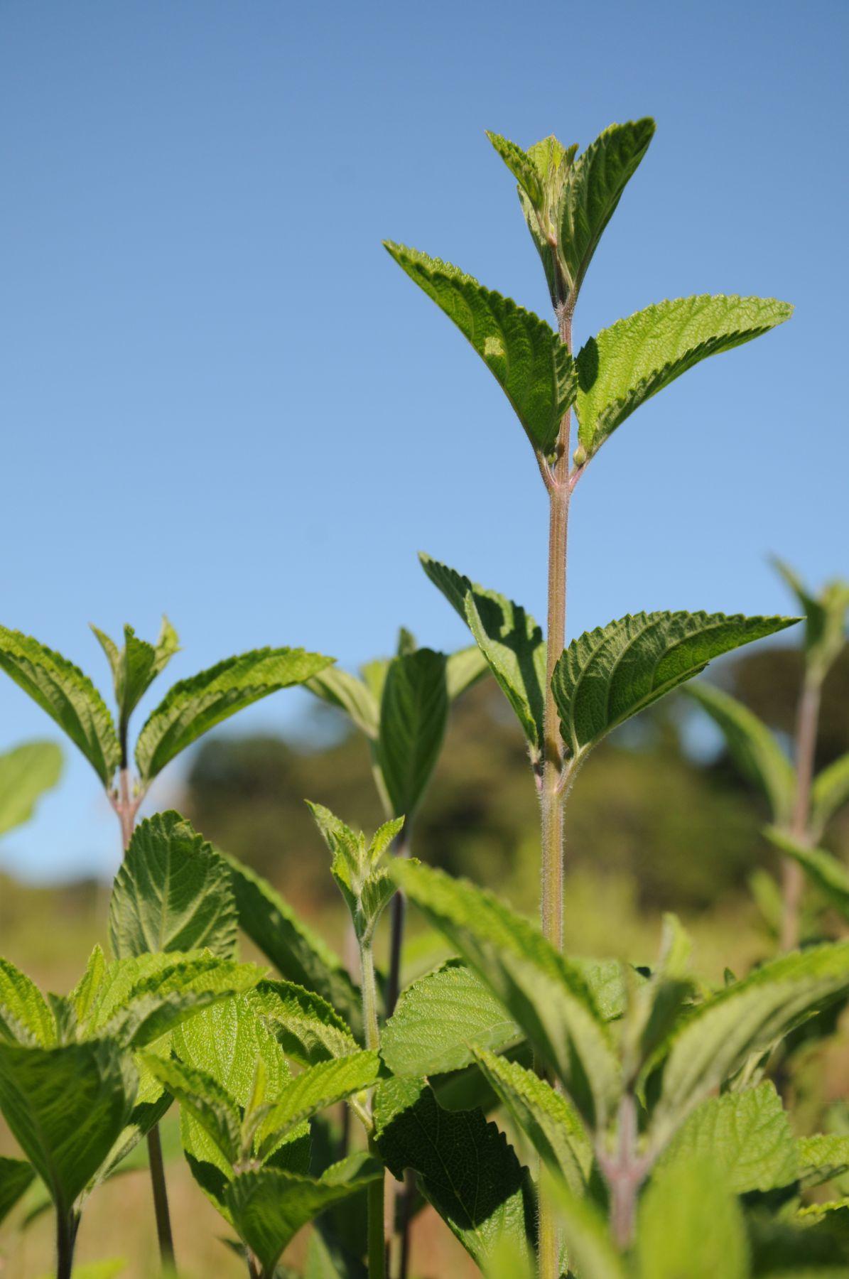 A falsa erva-cidreira possui propriedades medicinais