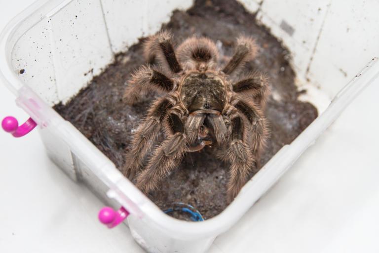Aranha caranguejeira (Grammostola sp.)