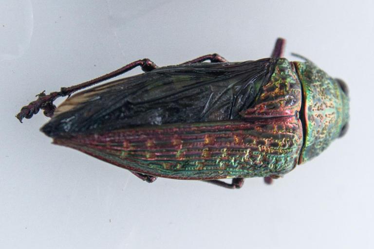 Besouro metálico (Euchroma sp.)