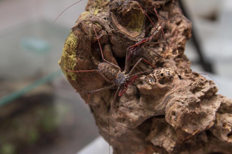 Amblipigio ou aranha chicote (Heterophrynus sp.)