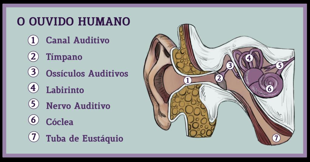 Ilustração do ouvido humano, dividido em 7 partes: canal auditivo, tímpano, ossículos auditivos, labirinto, nervo auditivo, cóclea e tuba de eustáquio.