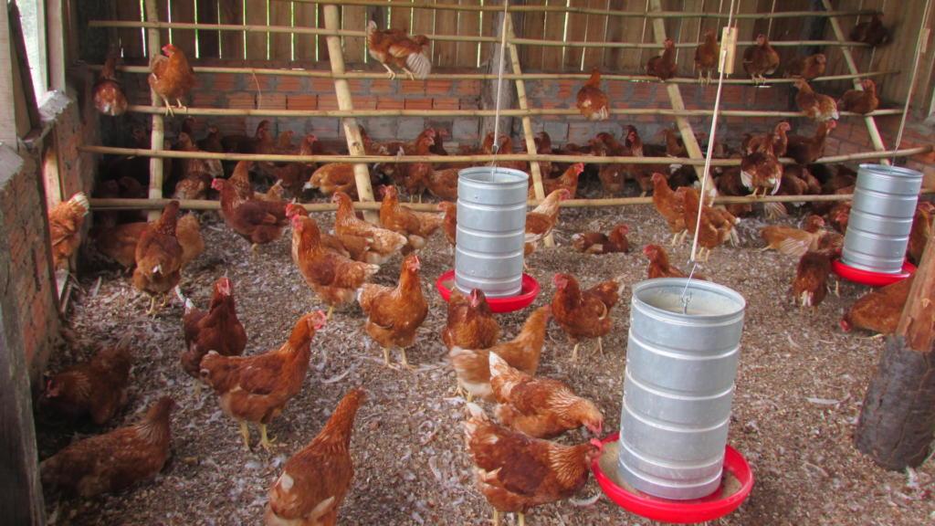 Fotografia colorida na horizontal. Várias galinhas de coloração alaranjada se encontram em uma área interna, uma granja. Nela, se encontram recipientes para a comida das galinhas e estruturas como grades de madeira na diagonal.