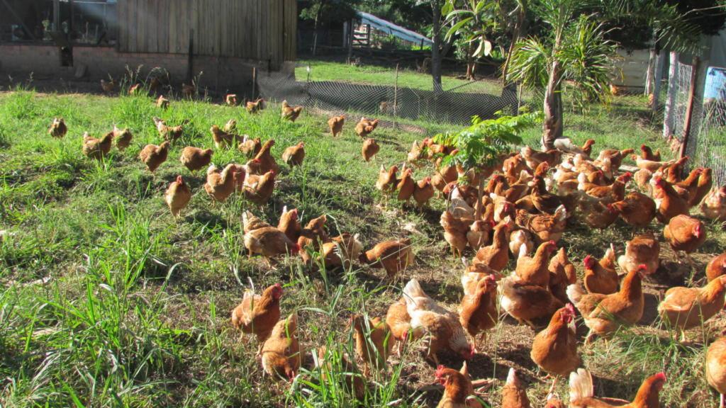 Fotografia colorida na horizontal. Aglomeradas à direita da foto, se encontram diversas galinhas de coloração alaranjada. Elas estão soltas em um gramado verde. Apenas lá no fundo se vê uma cerca, demarcando o espaço.